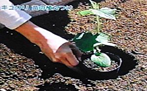 きゅうりを狭いスペースで育てる方法