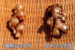 NHK やさいの時間 ショウガお手軽栽培法