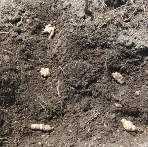 ショウガの植え付け