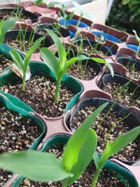 トウモロコシを種から育苗中