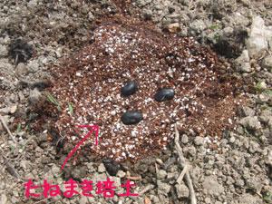 黒豆・落花生の種まき
