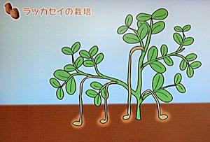 NHK 落花生の育て方