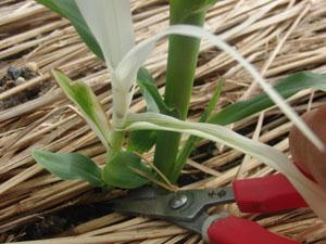 トウモロコシの葉が白い