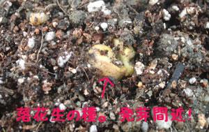 落花生の種にアリが。。。