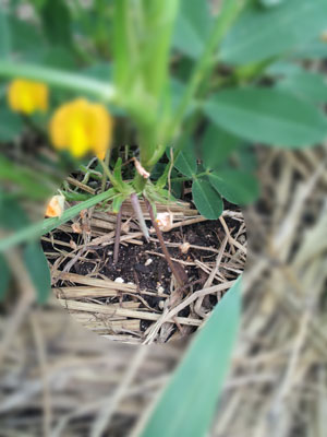 落花生の栽培日記