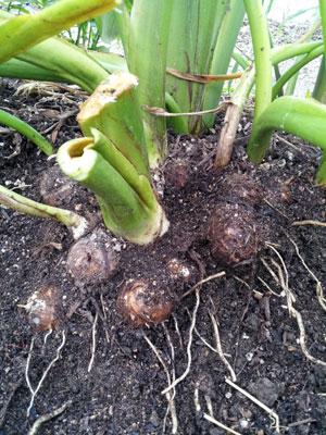 里芋の収穫時期