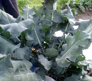 ブロッコリーの栽培