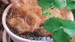イチゴの栽培方法