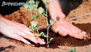 さやえんどうの栽培方法・やさいの時間