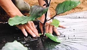 なす栽培 苗の選び方・育て方