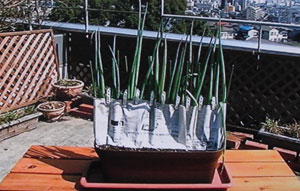 プランター栽培 長ネギの育て方