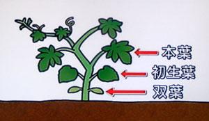 ゴーヤーの葉