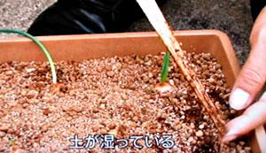 プランター栽培 ホームタマネギの育て方