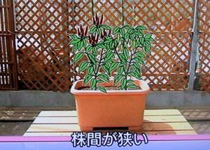 プランター栽培 唐辛子とシシトウの栽培方法