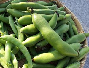 空豆栽培のコツ