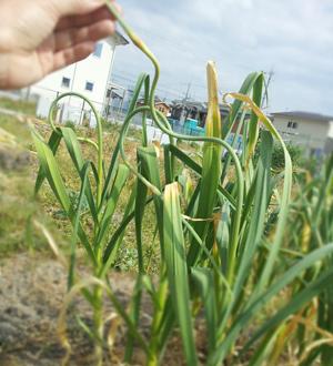 にんにく 花芽 花茎